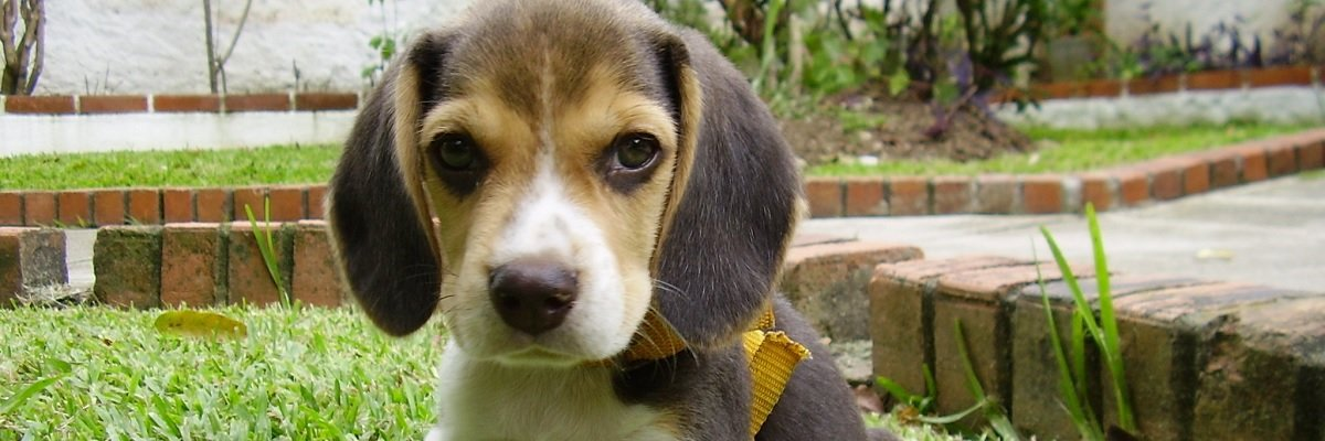 Does your dog have what it takes to be a part of the Beagle Brigade?