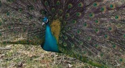 Help us release records for loose peacocks in Massachusetts.