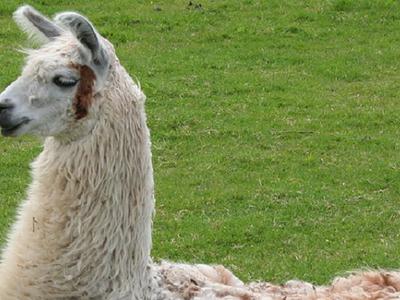 Sun City's llama drama