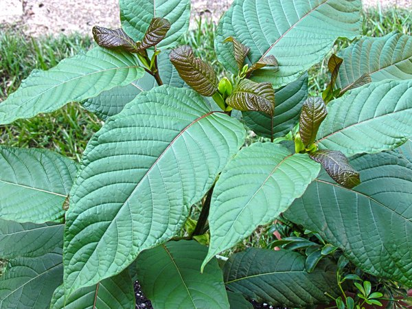 A Leaf of Faith: The Kratom Story